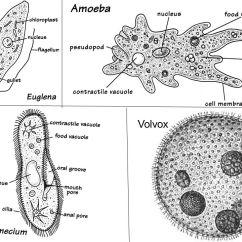 Amoeba Cell Diagram Daisy Tunic Protists 4+ Euglena, Amoeba, Paramecium, Volvox - Ppt Video Online Download