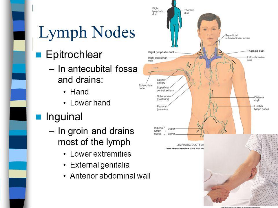 Epitrochlear And Brachial Lymph Nodes