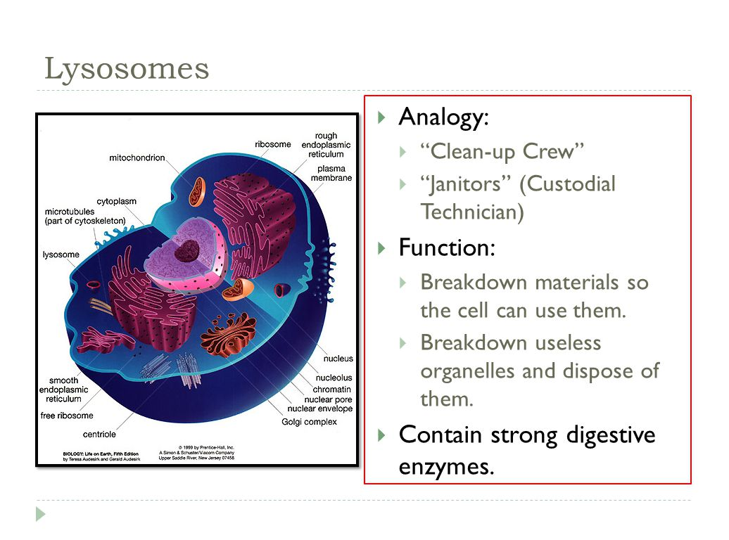 lysosome cell diagram 2008 hyundai santa fe stereo wiring 7 2 eukaryotic structure ppt video online download