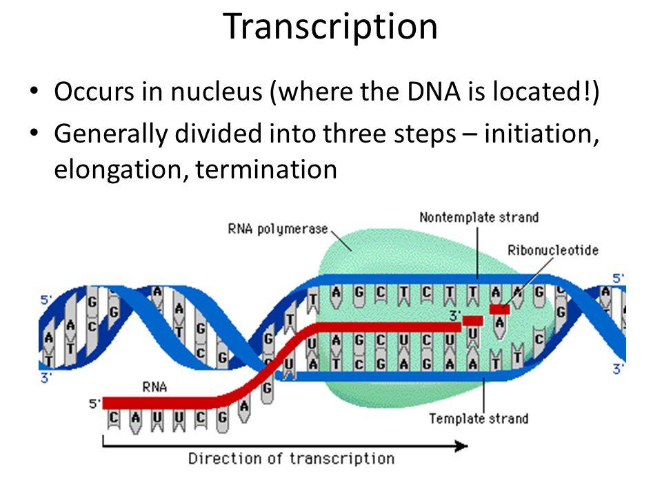 Where Does Transcription Begin Dna