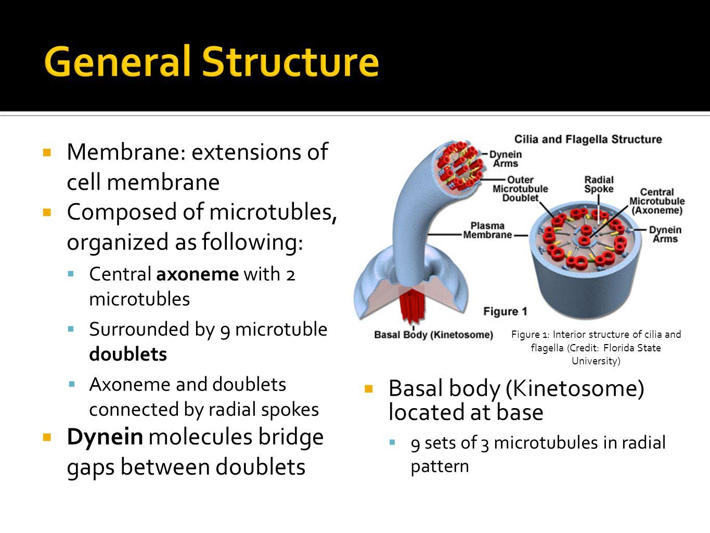cilia animal cell diagram free ford logo ethan blackwood anna menkis jeremy cohen elenbaas block
