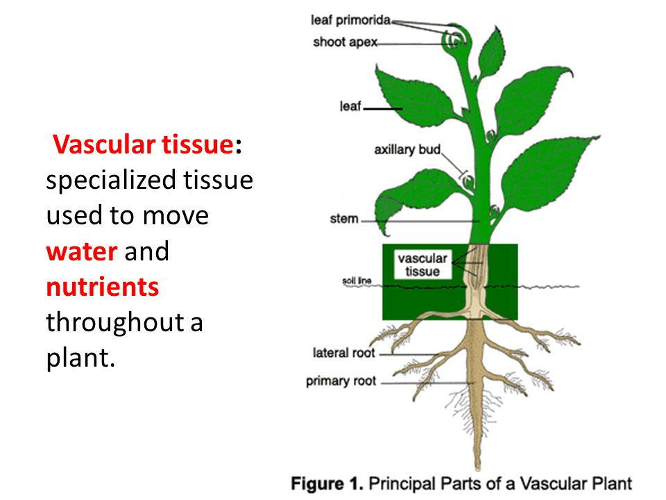 vascular plant diagram 2005 wrangler radio wiring happy thursday bellwork: write the correct tropism to each scenario. 1. you place a lily ...
