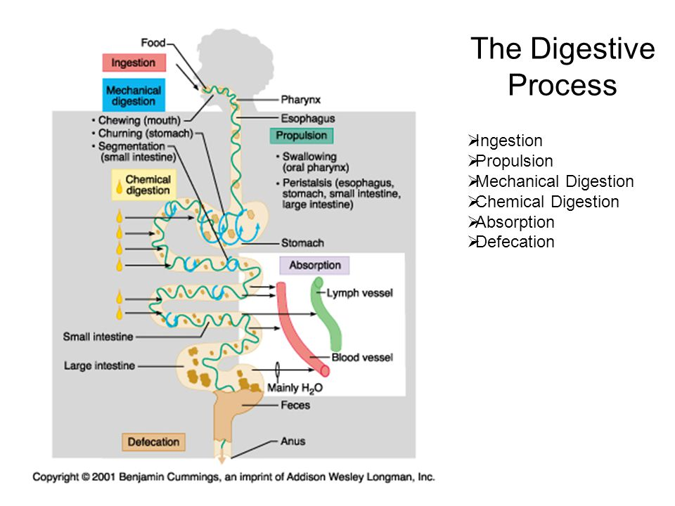 anatomy digestive diagram salivary glands 4 pin flasher unit wiring chapter 24 the system. - ppt video online download