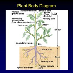 Vascular Plant Diagram Isuzu Kb Radio Wiring Form Chapter Ppt Video Online Download
