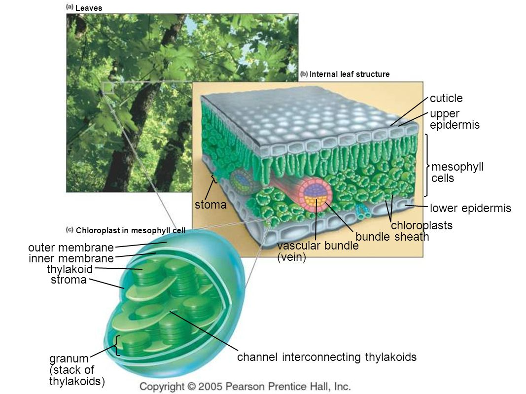 leaf epidermis diagram wiring for motorized blinds chapter 7 capturing solar energy photosynthesis ppt