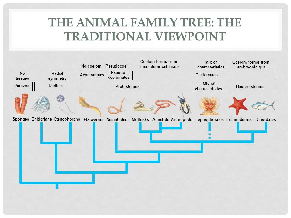 how to draw a family tree diagram 1997 f150 radio wiring evolution of the animal phyla - ppt video online download