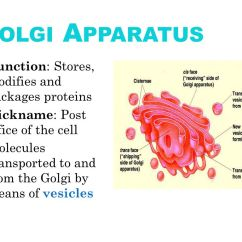 Golgi Apparatus Structure Diagram Land Rover Discovery 2 Trailer Wiring The Cell And Its Organelles Ppt Download