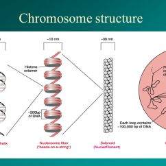 Chromosome Structure Diagram 1999 Toyota Camry Fuse Box Lecture 3 Organization Of Dna. - Ppt Download