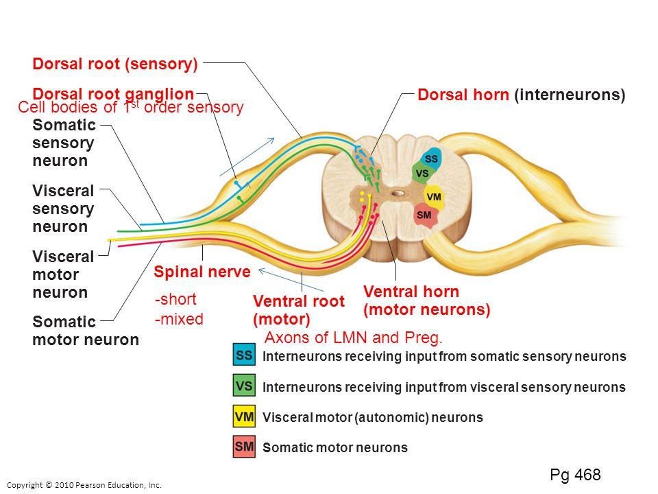 synapse diagram label 2006 chrysler 3 8 engine foramen magnum functions: sensory motor reflexes programs? l2 pg ppt video online download