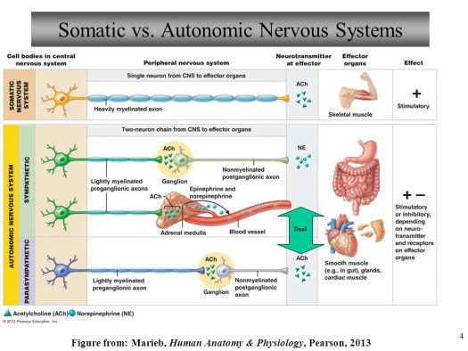 Human Anatomy And Physiology Nervous System Ppt – Periodic ...