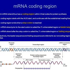Dna Translation Diagram Pioneer Deh P400ub Wiring Chapter 17: Genes And How They Work - Ppt Download