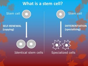 Stem Cell Basics Unspecialized (undifferentiated) cells