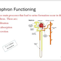 Bowman S Capsule Diagram 98 F150 Speaker Wiring Maintaining A Balance Topic 17: Nephron Functioning - Ppt Video Online Download