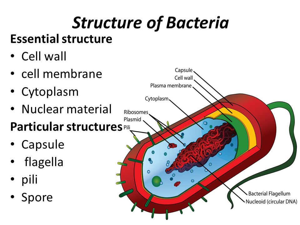bone cell diagram labeled 2016 holden colorado wiring bacterial morphology and structure - ppt video online download