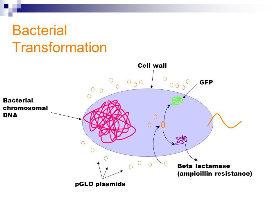 Plasmid Bacteria Mechanism Transformation