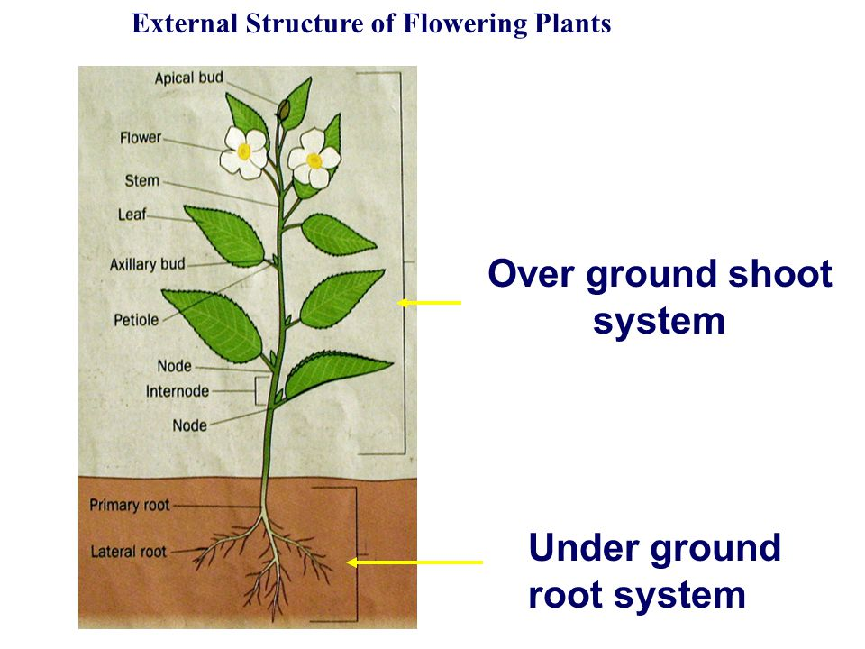 diagram of a flowering plant with label 1 light 2 switches wiring structure plants - ppt video online download