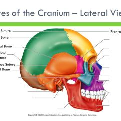 Lateral View Skull Sutures Diagram 3 Overlapping Circles The Skeletal System Focus On Skull. - Ppt Video Online Download