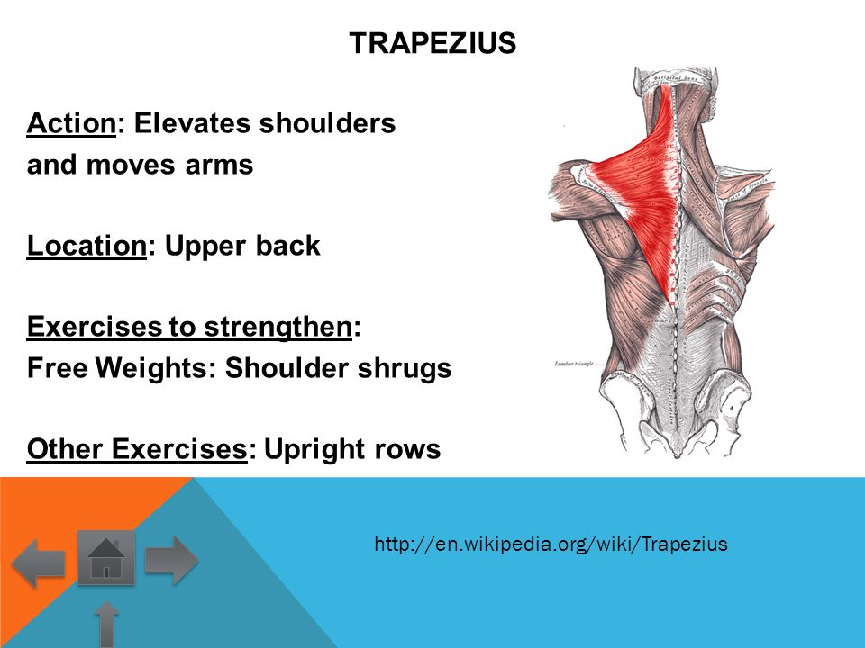 Tricep Action Extends Arm Location Upper arm posterior  ppt video online download