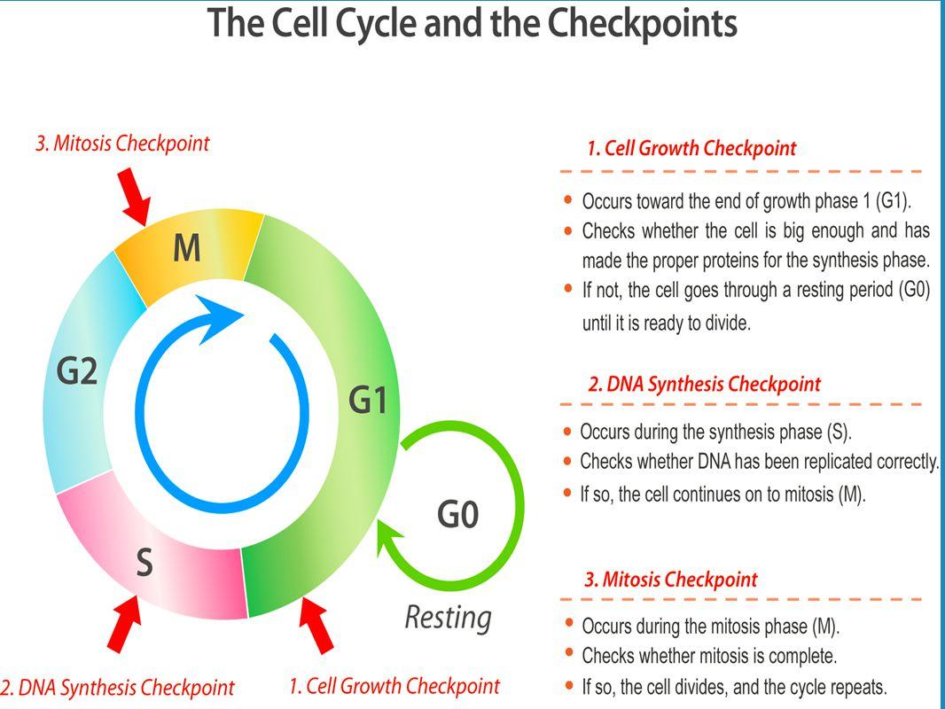 Worksheet Cell Cycle Regulation Worksheet Grass Fedjp