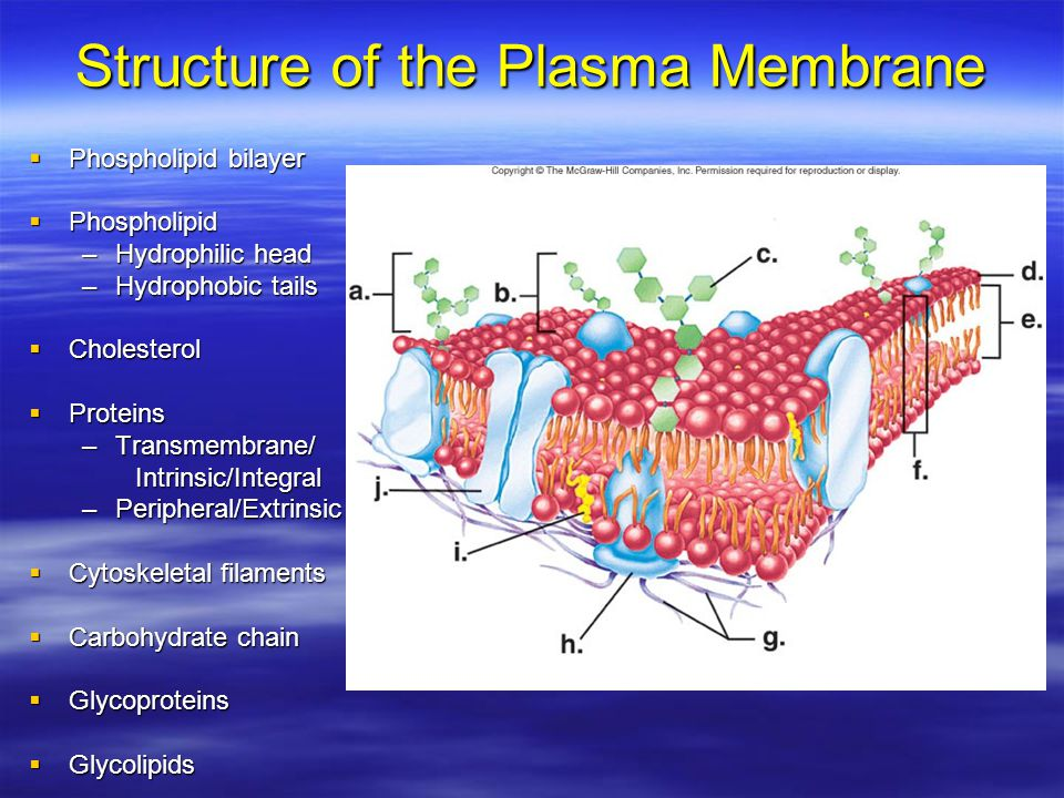 carbohydrate structure diagram 1967 mustang dash wiring the plasma membrane ib biology hl e. mcintyre - ppt video online download