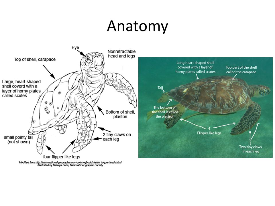 turtle shell anatomy diagram wilkinson humbucker pickups wiring sea turtles. - ppt video online download