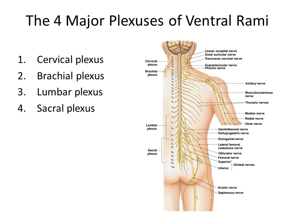 blank spine diagram 8n ford tractor headlight wiring the spinal cord, nerves, and reflexes - ppt video online download