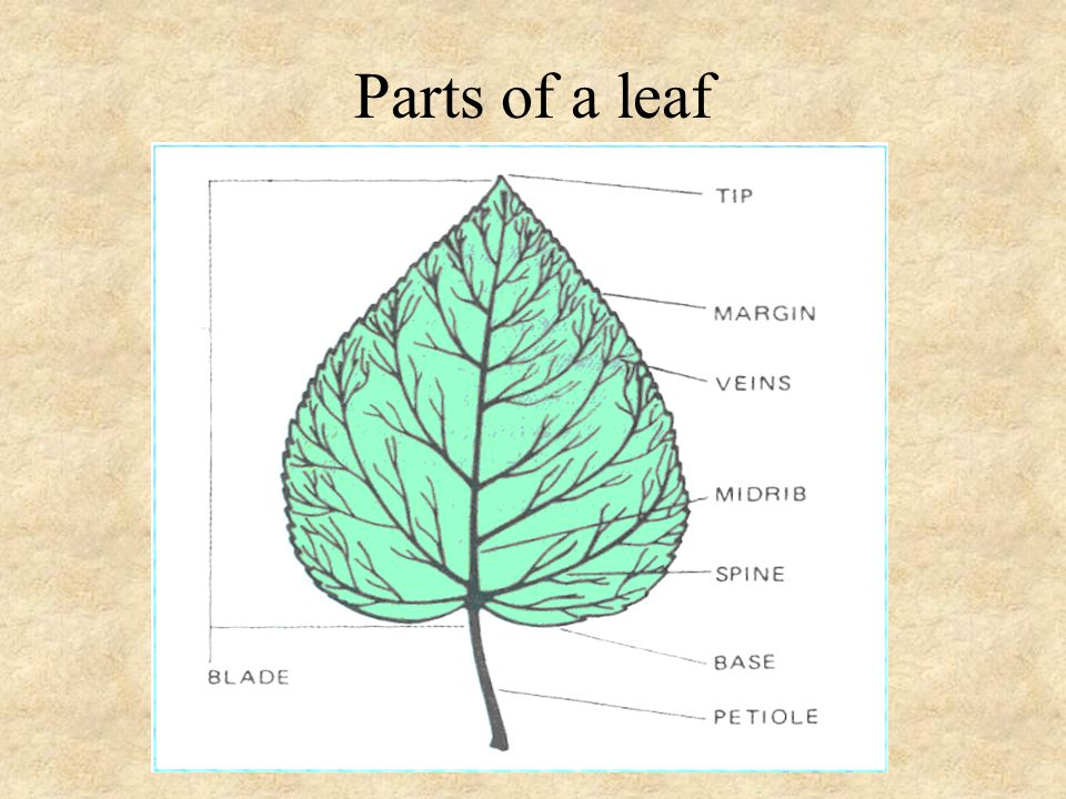 leaf epidermis diagram house plumbing residential unit 3 parts of the plant and their functions - ppt download