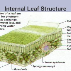 Leaf Epidermis Diagram 3 Phase Rotary Converter Wiring Parts Of The Plant: Leaves - Ppt Video Online Download