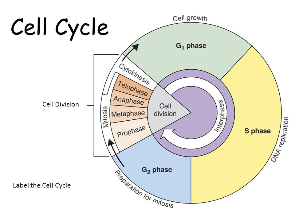Cell cycle diagram label auto wiring diagram today cell cycle labeling diagram application wiring diagram u2022 rh diagramnet today cell cycle mitosis diagram labeled cell cycle phases ccuart Images