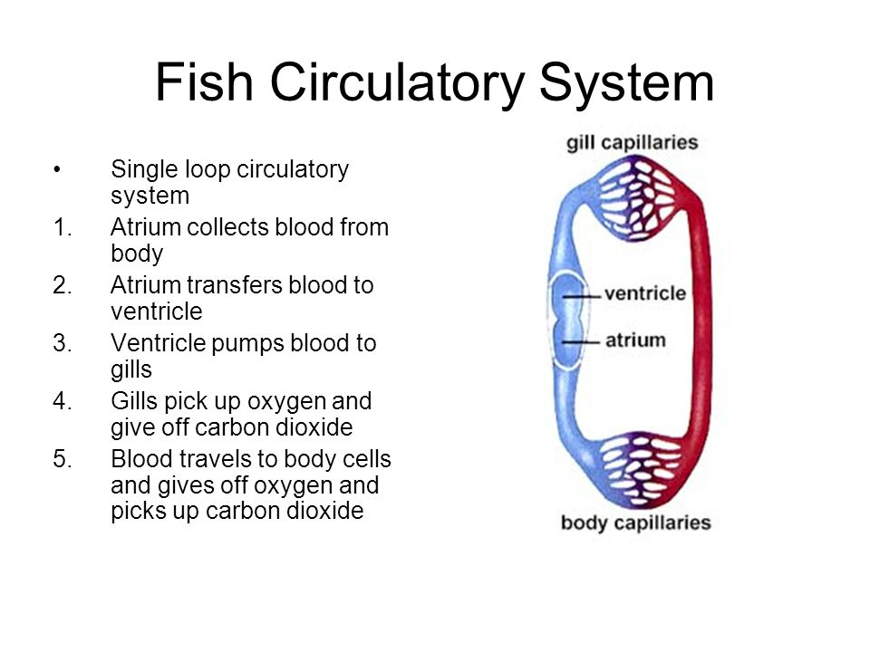 3 chambered heart diagram 7 way rv wiring circulatory systems in animals - ppt download