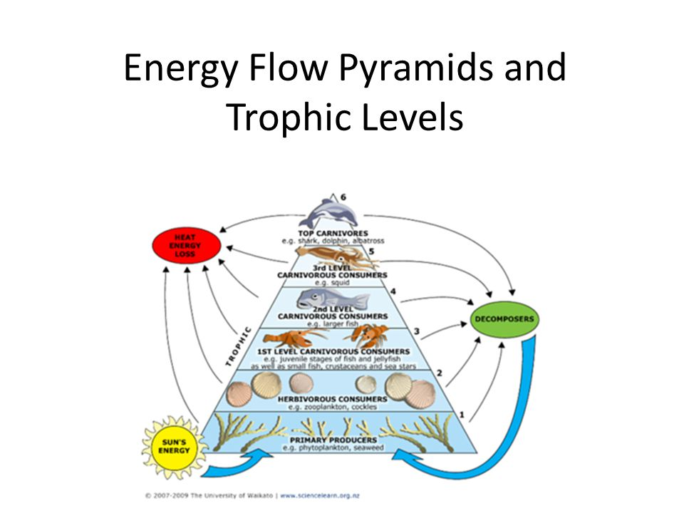 pacific ocean food web diagram 1997 saturn sc1 engine energy flow pyramids and trophic levels - ppt video online download