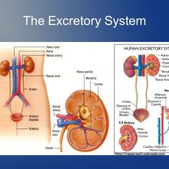 Excretory System Diagram Basic 2000 Jeep Cherokee Sport Stereo Wiring Chapter 34 Notes The Circulatory Respiratory And