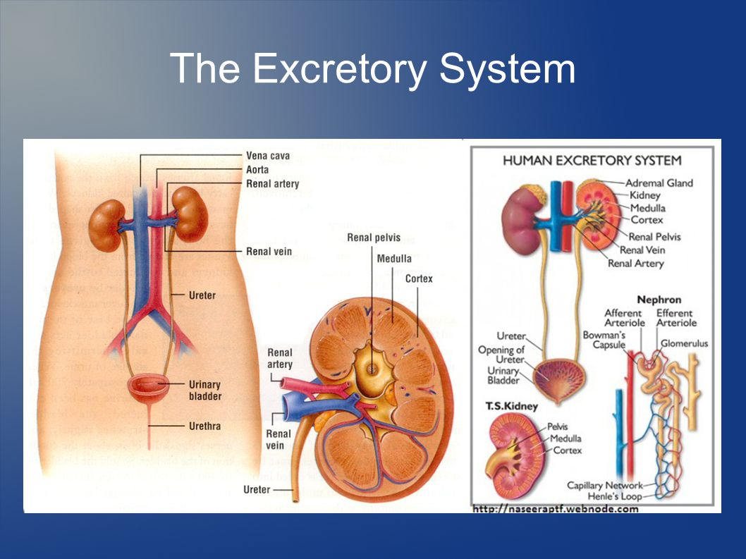 excretory system diagram basic 2005 nissan altima ignition wiring chapter 34 notes the circulatory respiratory and