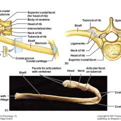Cervicle Vertebrae And Ribs Diagram Poulan P3314 Chainsaw Parts The Axial Skelton Activity Ppt Video Online Download