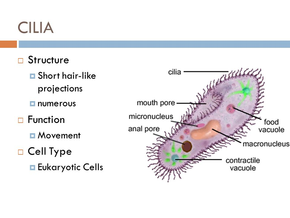 cilia animal cell diagram 7 pin trailer wiring cytoplasm/cytosol structure function type - ppt video online download