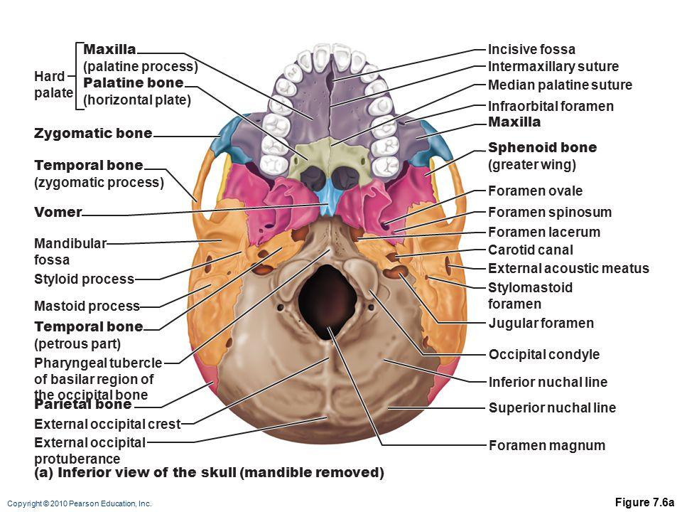 bones of the skull anterior view diagram nissan 240sx fuel pump wiring 7 skeleton: part a. - ppt video online download