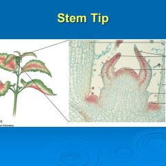 Leaf Epidermis Diagram 1999 Saturn Fuse Box Plant Tissues And The Multicellular Body - Ppt Video Online Download