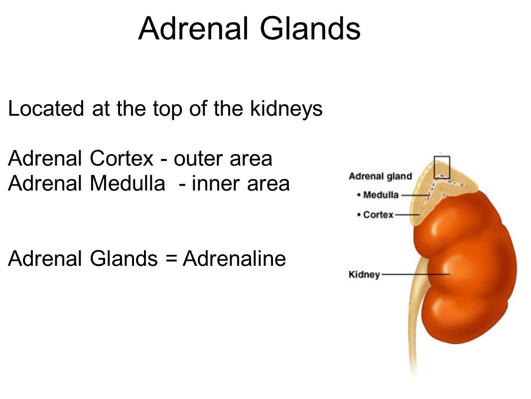Beste Where Is The Adrenal Gland Located Bilder Anatomy And