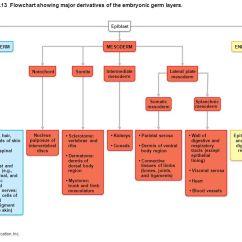 Human And Animal Cells Diagram Speakon Speaker Wiring Pregnancy Development - Ppt Download