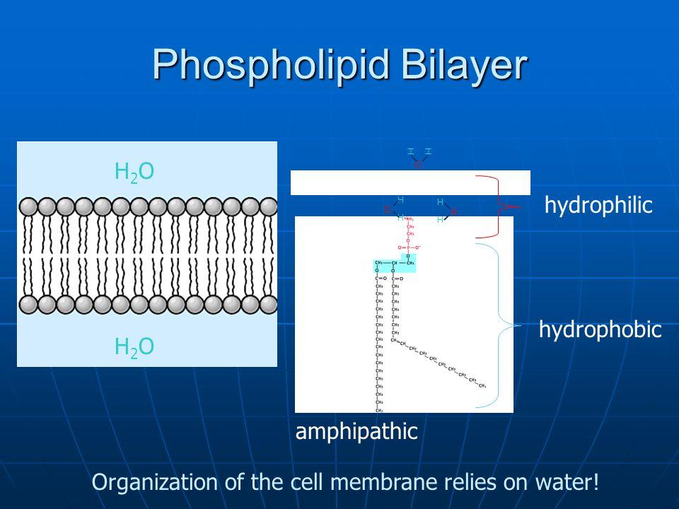 Polar Glycerol Part Phospholipid