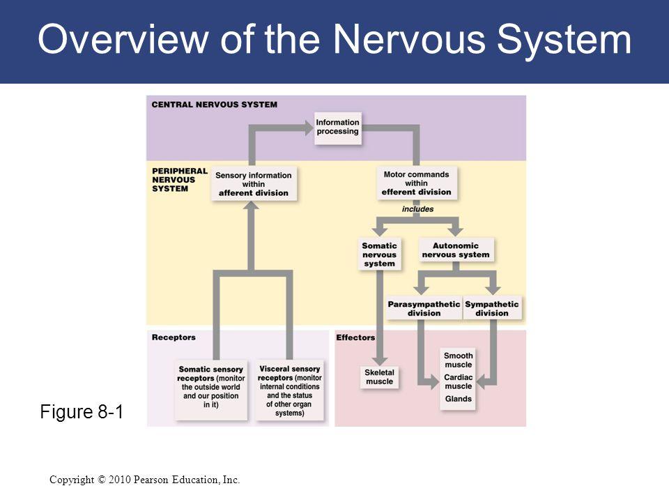 8 The Nervous System C H A P T E R  Ppt Download