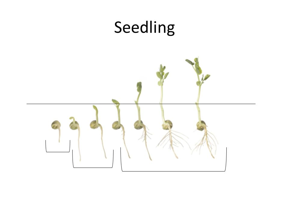 Seedling Vocabulary OBJ: We will create a flip book in our