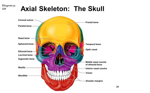 small resolution of the skeletal system chapter ppt video online download clavicle anatomy diagram throat diagram labeled
