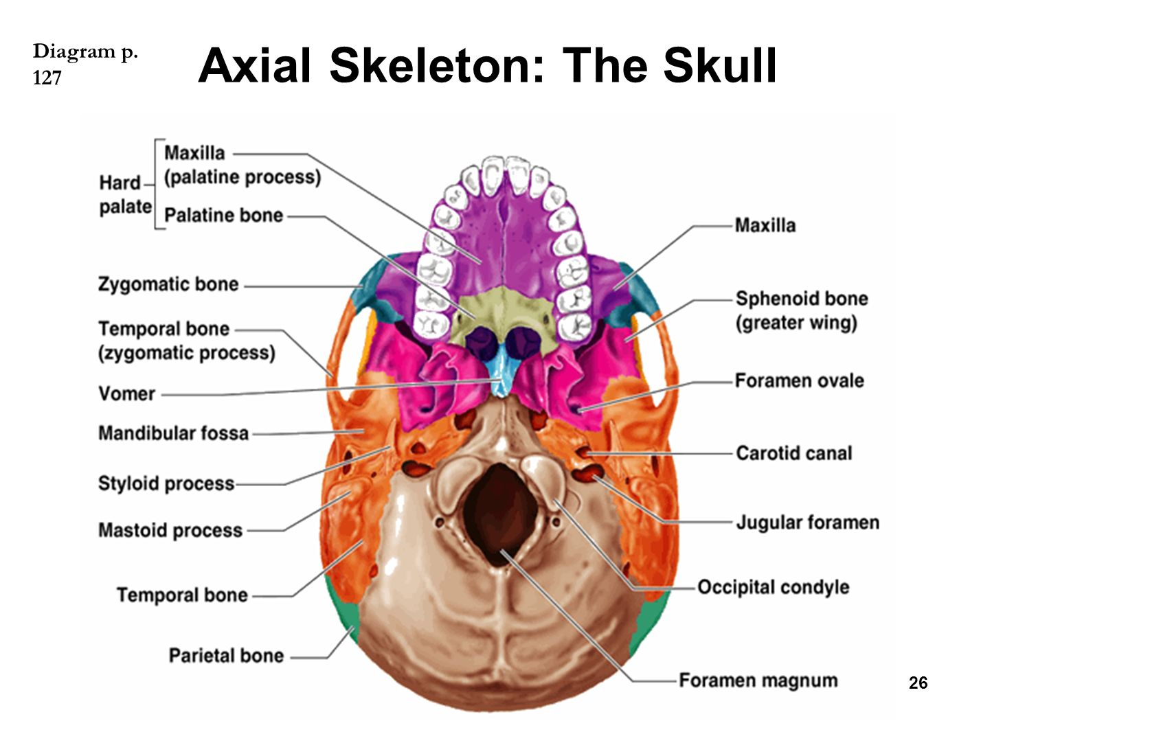 hight resolution of the skeletal system chapter ppt video online download clavicle anatomy diagram scapula diagram
