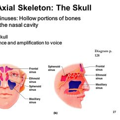 Facial Bones Diagram Not Labeled Wiring For A Honeywell Thermostat The Skeletal System Chapter Ppt Video Online Download