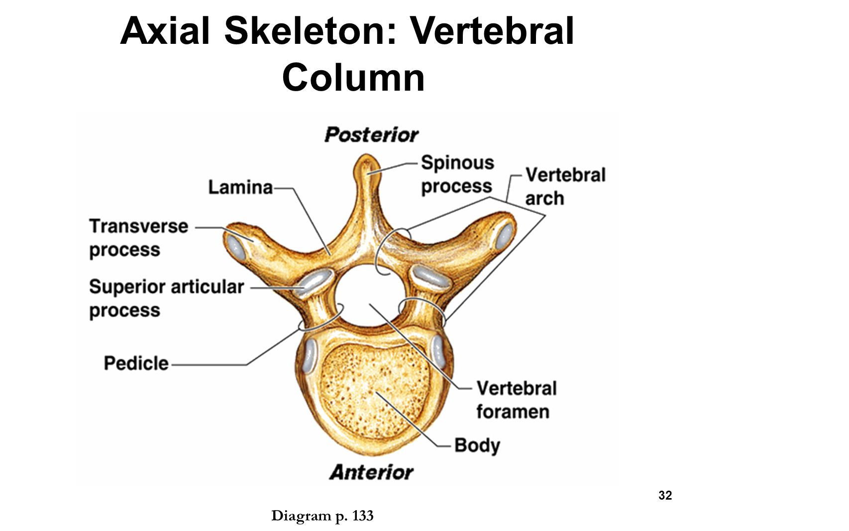 axial skeleton skull diagram terry travel trailer wiring the skeletal system chapter ppt video online download