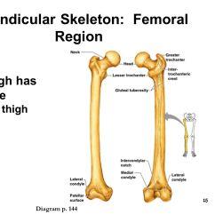 Coxal Bone Diagram Coil Wiring Scapula Elsavadorla