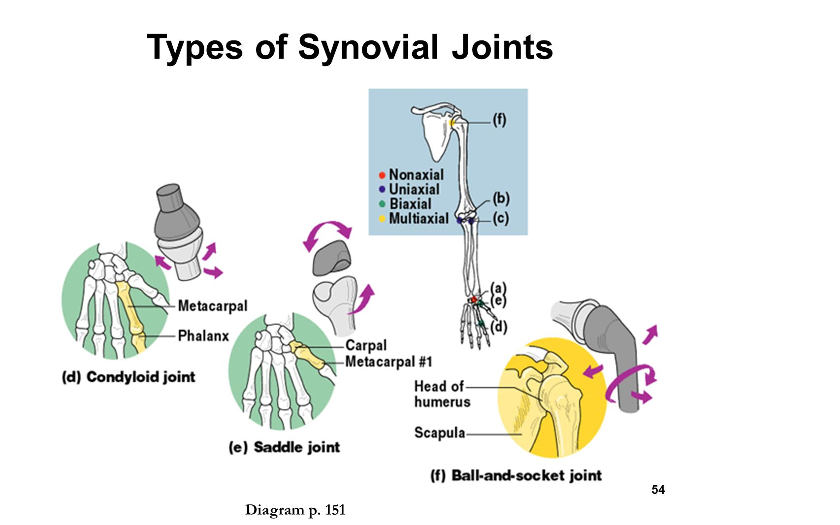 pivot joint diagram wiring diagrams enable technicians to the skeletal system chapter ppt video online download