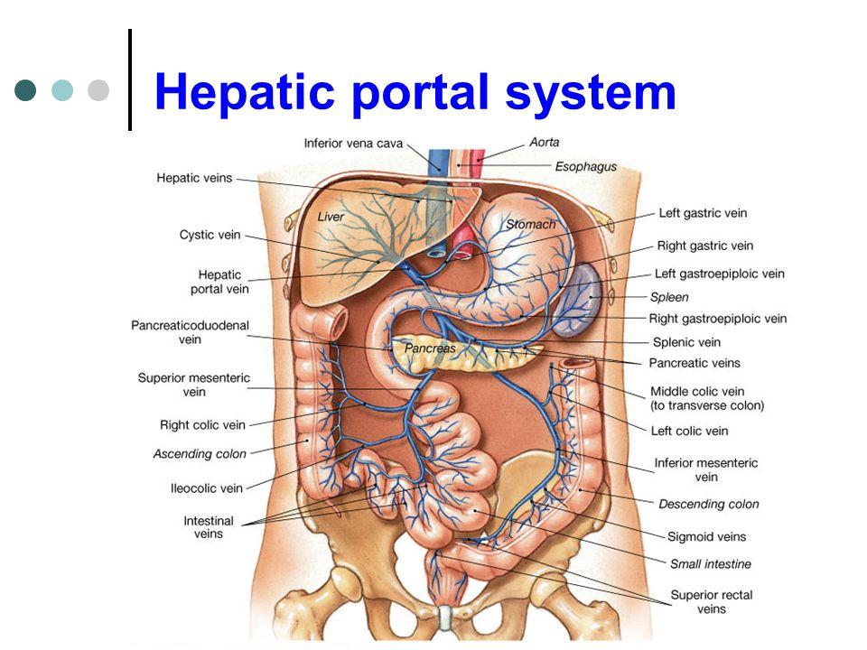 hepatic portal vein diagram 1990 honda civic fuse box exercise 36 blood vessels. - ppt video online download