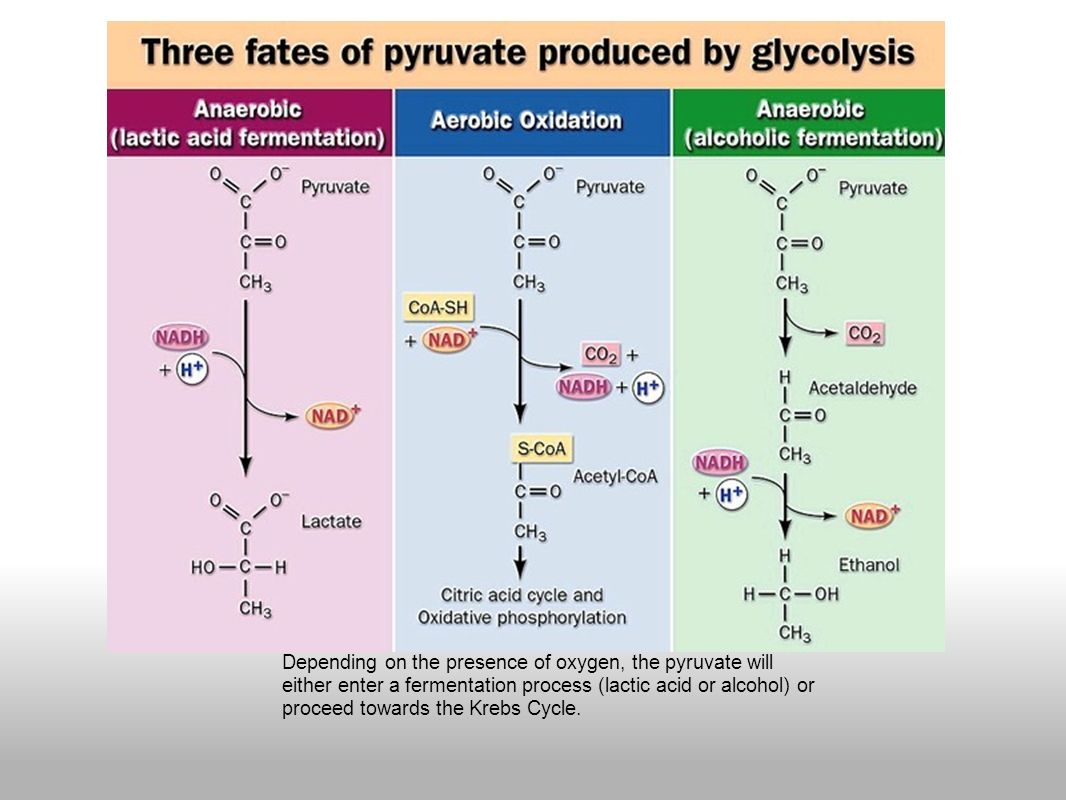 stages of glycolysis and fermentation diagram radio wiring for 2008 chevy silverado 1500 download good laboratory practice regulations